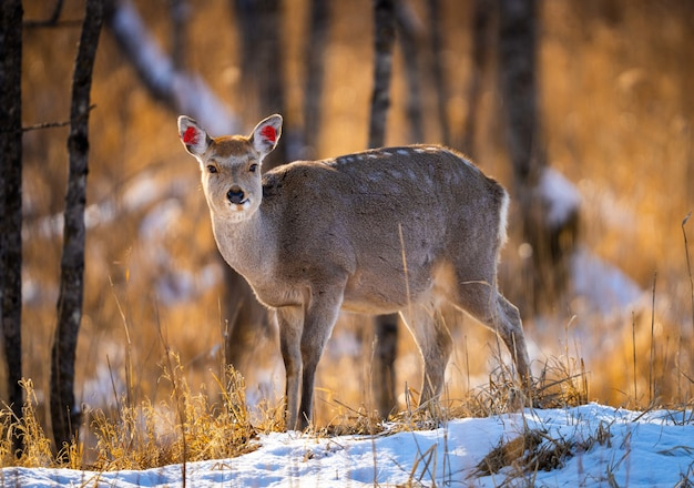 White-tailed deer on a snowy field forest