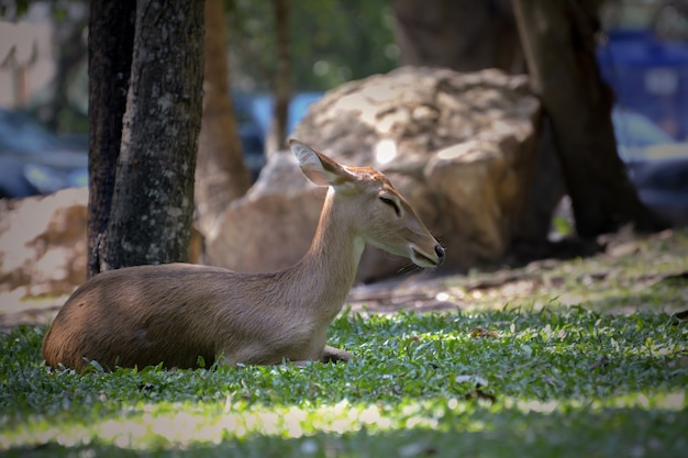 White tailed deer in the zoo