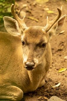 White tailed deer.