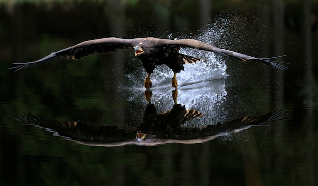 White tailed eagle flying above water