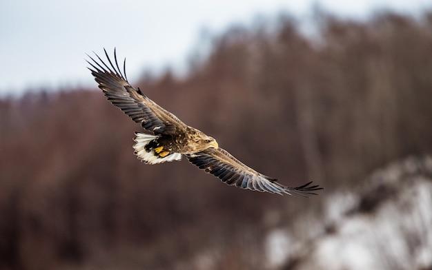 Орлан-белохвост в полете. япония. хаккайдо. полуостров сиретоко. национальный парк сиретоко.