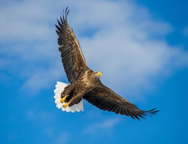 Орлан-белохвост в полете на голубом небе. япония. хаккайдо. полуостров сиретоко. национальный парк сиретоко.