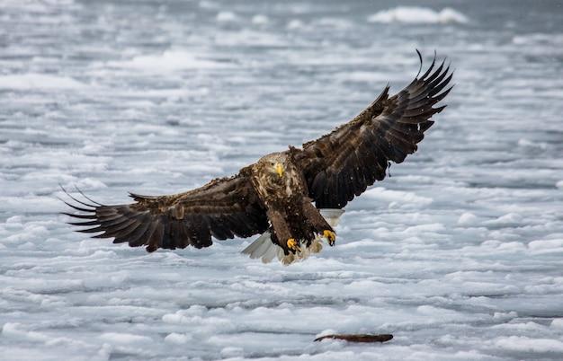 Орлан-белохвост в полете над льдом. япония. хаккайдо. полуостров сиретоко. национальный парк сиретоко.