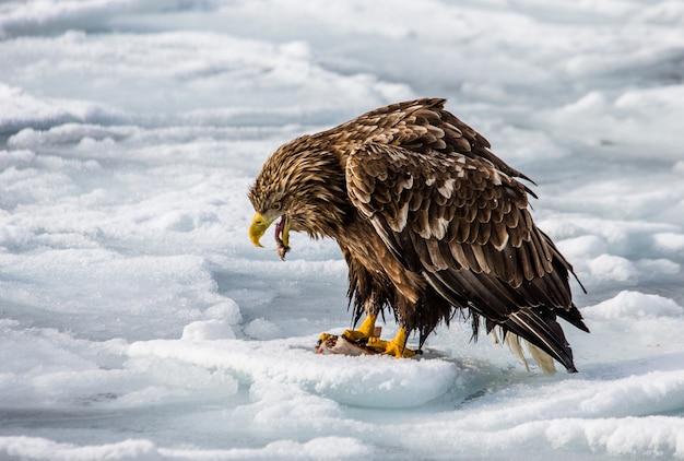 Орлан-белохвост сидит на льду. япония. хаккайдо. полуостров сиретоко. национальный парк сиретоко.