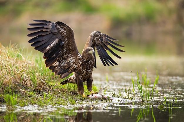 Посадка белохвостого орла с добычей на берегу.