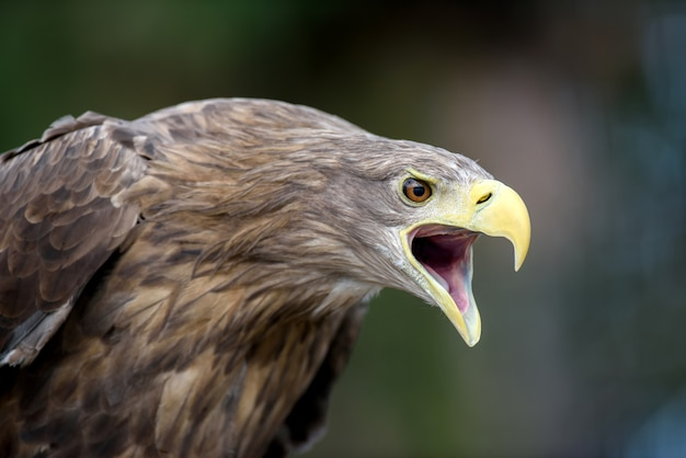 White-tailed eagle portrait  in forest. danger animal in nature habitat.