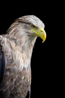 Портрет орла-белохвоста на черном