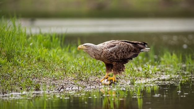 White-tailed eagle sitting on a catch of fish by a lake in wetland.