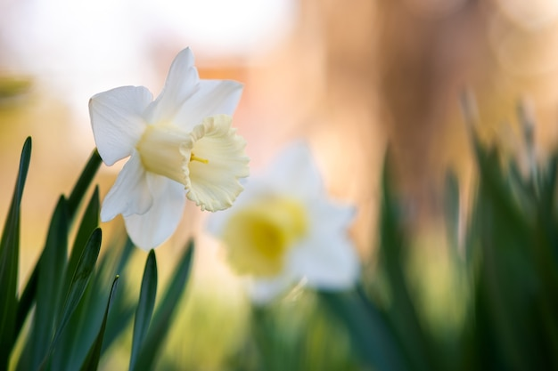 Белые нежные цветы нарцисса, цветущие в весеннем саду.