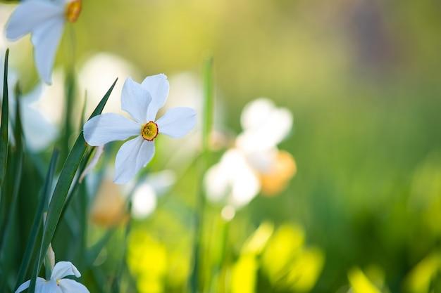 봄 정원에 피는 하얀 부드러운 수선화 꽃.