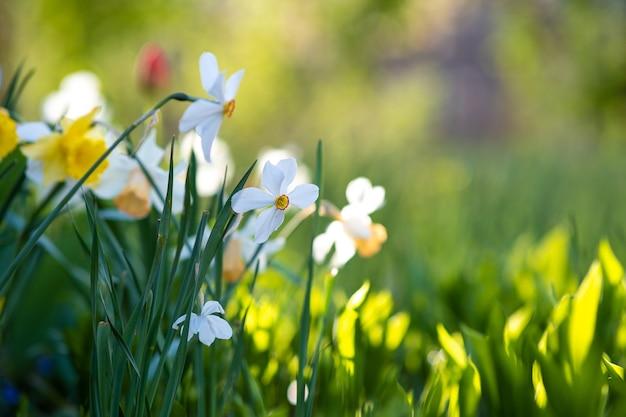 春の庭に咲く白いやわらかい水仙の花。
