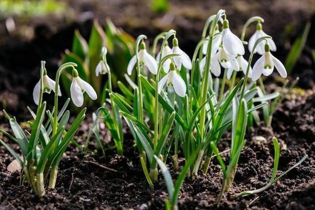 白い柔らかいプリムローズ森ガランサスニバリス最初の美しいスノードロップ日光早春の花