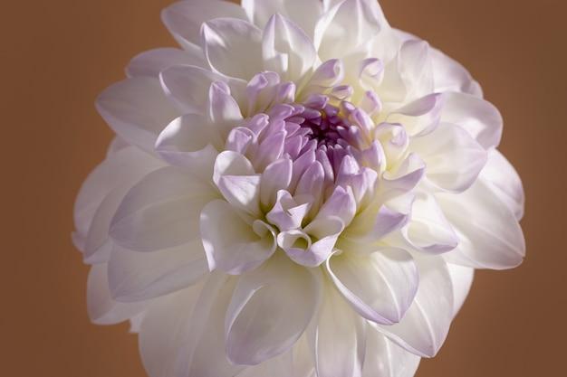 白い優しさダリアクローズアップショット柔らかい花の背景マクロビュー