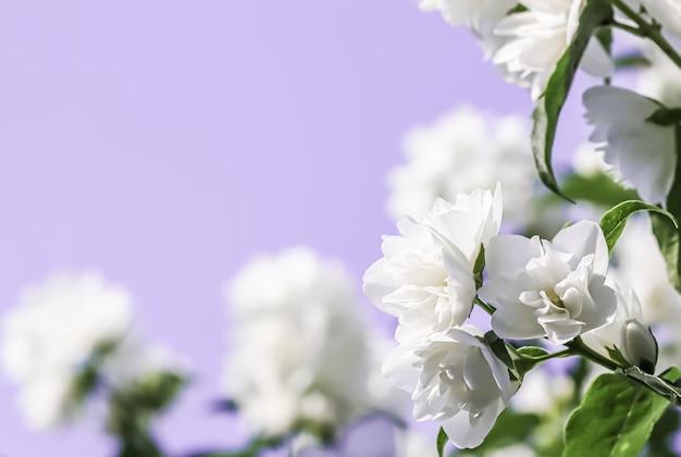 Белые махровые лепестки цветов жасмина на бледно-розовом фоне макро цветы фон