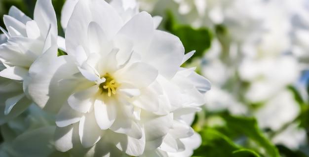 庭のマクロ花の背景に白いテリージャスミンの花
