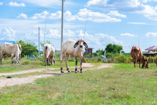 White thai cow family in green field which traditional cow in urban.