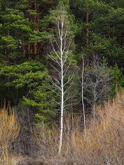 녹색 소나무 숲의 배경에 흰색 얇은 자작 나무 트렁크. 자연스러운 대조. 최소한의 봄 배경.