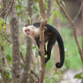 White-throated capuchin monkey in a tree in costa rica