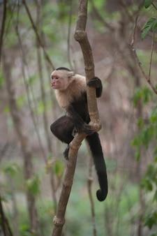 White-throated capuchin monkeys seated in the jungles of costa rica
