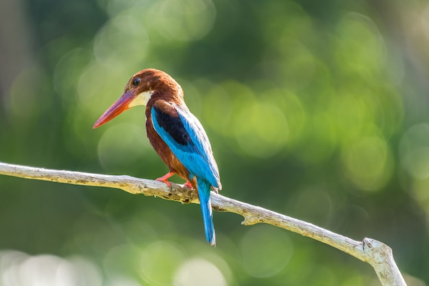 White-throated kingfisher (halcyon smyrnensis) perched and resting