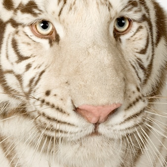 White tiger (3 years) in front on a white isolated