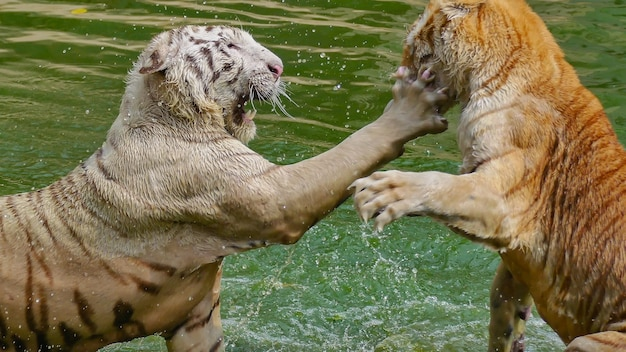 White tiger and bengal tiger fighting in a green colour water aggressively.