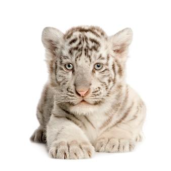 分離された白い虎の子(2ヶ月)