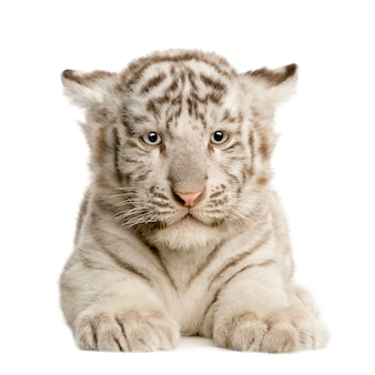 White tiger cub (2 months) isolated