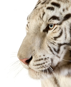 White tiger in front on a white isolated