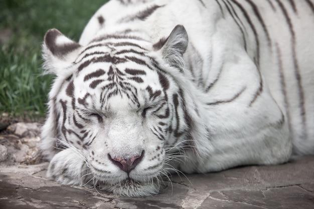 白虎のフルフェイスの肖像画。睡眠