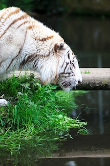 White tiger at river