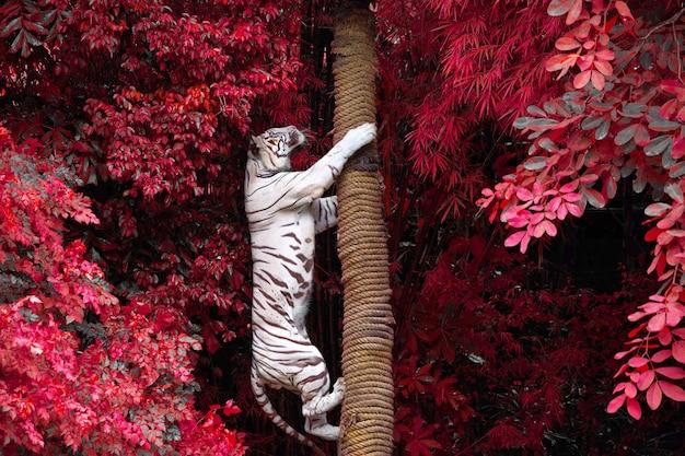 Белые тигры лазят по деревьям в дикой природе зоопарка.