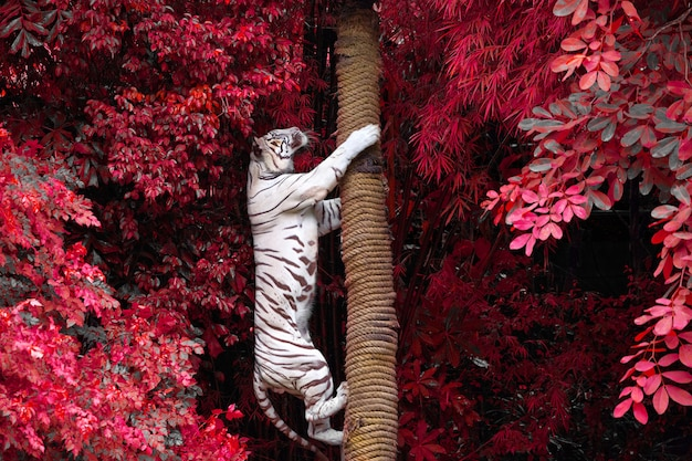White tigers are climbing trees in the wild nature of the zoo.