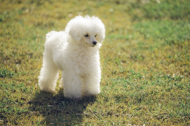 White toy poodle on grass at sunset