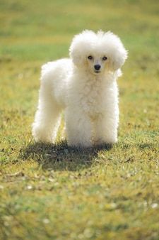 White toy poodle looking at the camera on grass at sunset