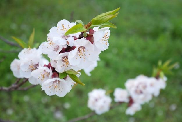 Белое дерево цветение сакуры весной на фоне зеленой травы
