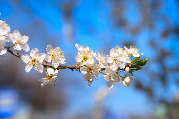 春に白い木の花。桜の花。閉じる。セレクティブフォーカス。