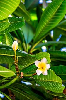 White tropical flowers plumeria, frangipani