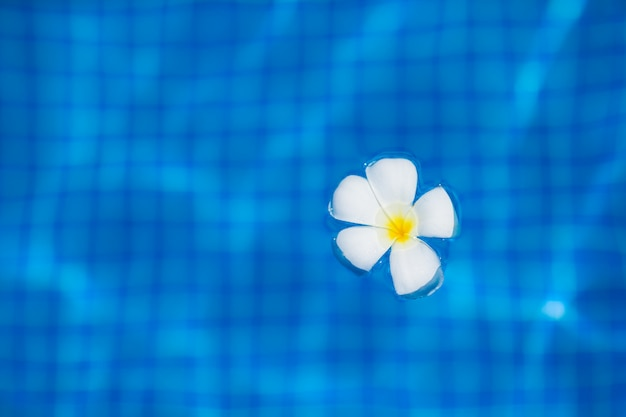 White tropical frangipani flower floating on the water in infinity pool
