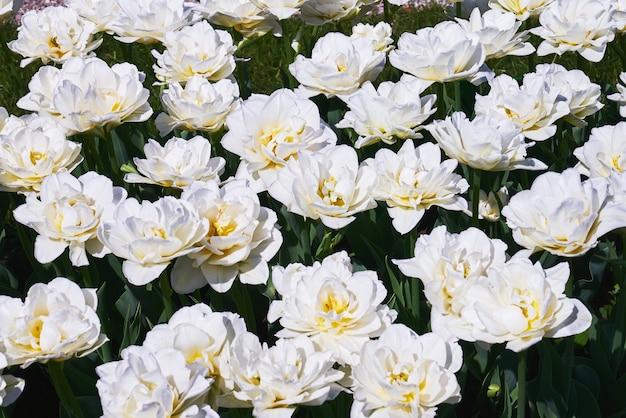일몰에 튤립 필드에 피는 흰 튤립 꽃.