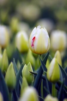 봄 시즌에 흰 튤립 꽃