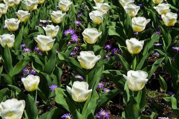 White tulip in villa taranto