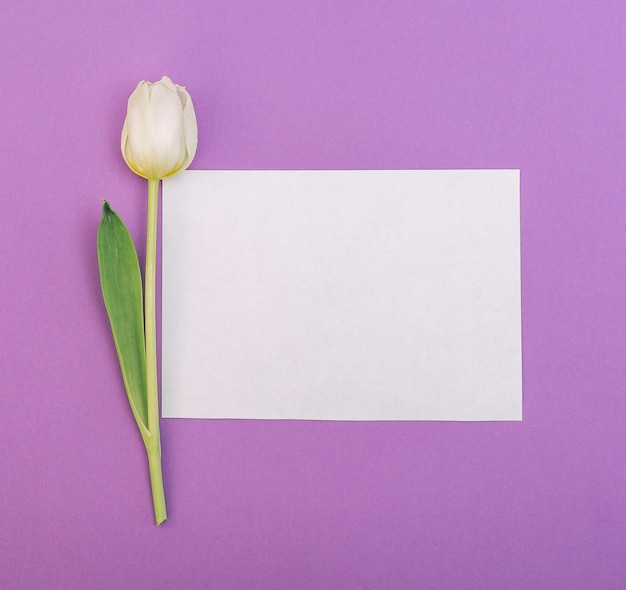 White tulip with blank white paper on purple backdrop