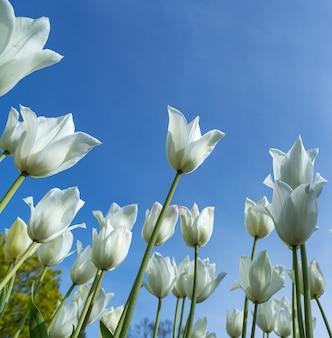 White tulips against the blue sky