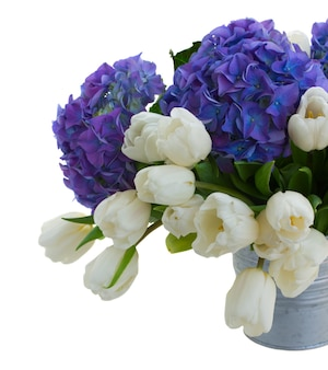 White tulips  and blue hortensia flowers close up  isolated on white space