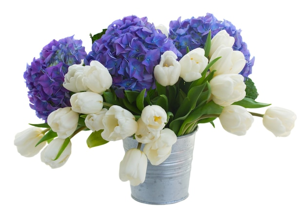 White tulips  and blue hortensia flowers in metal pot  isolated on white space