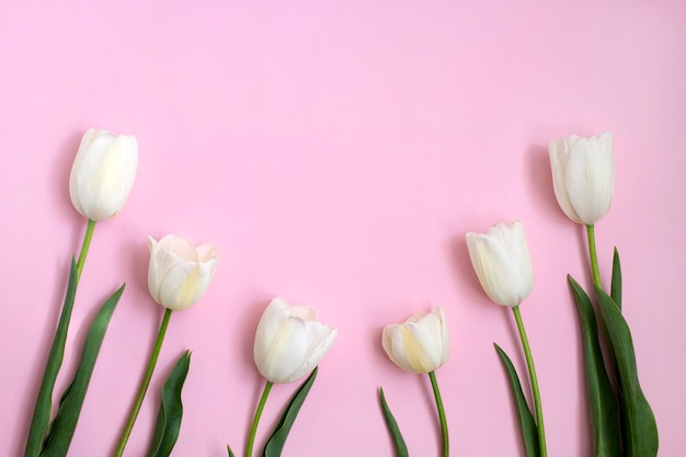 ピンクに白いチューリップの花。春のコンセプト