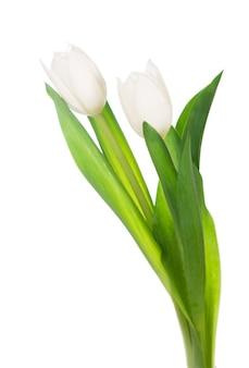 Белые тюльпаны, изолированные на белом фоне