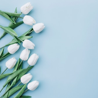 White tulips on pastel blue background with space on the right side