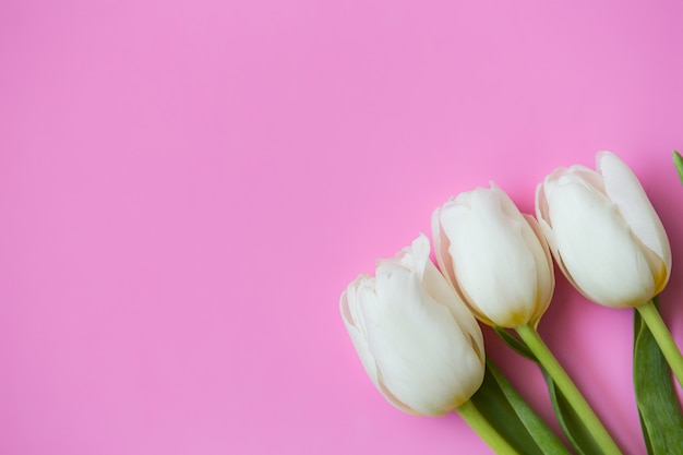 White tulips on pink background. fresh flowers. place for text.